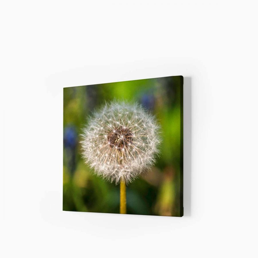 Tablou canvas Dandelion in the Sun 1